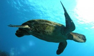 Don't miss swimming with our local wild turtles